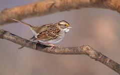 White Throated Sparrow (Lynn Tweedie) Tags: wood beak tail wing canon ngc animal 7dmarkii feathers sigma150600mmf563dgoshsm bird tree eye eos missouri whitethroatedsparrow branch