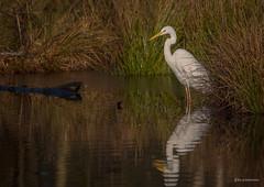 Silberreiher (wernerlohmanns) Tags: wasservögel wildlife nabu naturpark outdoor natur nikond750 nsg deutschland d750 schärfentiefe sigma150600c reiher heron silberreher