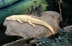 Meet #Claude the #white #alligator! Why is he so white ? He has #nopigment (Σταύρος) Tags: lookingdown alligatormississippiensis museum naturalhistorymuseum californiaacademyofsciences steinhartaquarium lounging hangingout claudethealligator researchinstitute planetarium goldengatepark sanfrancisco aquarium pigment whitealligator claude white alligator nopigment sf city sfist thecity санфранциско sãofrancisco saofrancisco サンフランシスコ 샌프란시스코 聖弗朗西斯科 سانفرانسيسكو iminyuziyamu amgueddfa museo музей museu 박물관 博物館 músaem halehōʻikeʻike μουσείο musée muzej թանգարան متحف