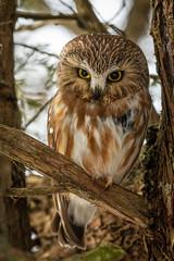 Saw-whet Owl (dwb838) Tags: sawwhetowl amherstisland