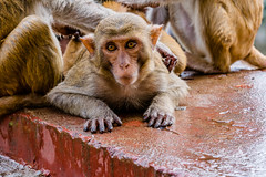 Monkey at Mount Popa (bransch.photography) Tags: view burma ancient landscape asia monkey mammal landmark golden spectacular myanmar vacation volcano buddha clouds religion pagoda buddhism majestic tourism rock stupa monastery stunning bagan sky travel mountpopa southeastasia temple mountain