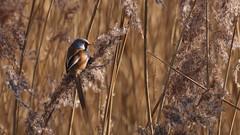Bearded Tit (stephen.reynolds) Tags: bearded tit reedling reeds bird orange sunlight rspb titchwell