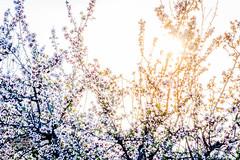 Almendros (melderomero.com) Tags: almendro almondtree sunset crops campos cultivo almendra flower flor blossom floración primavera spring
