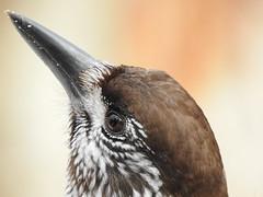 Spotted Nutcracker (Nucifraga caryocatactes) (eerokiuru) Tags: spottednutcracker nucifragacaryocatactes orzechòwka mänsak p900 bird wildlife nature birding vogel nikoncoolpixp900 closeup portrait