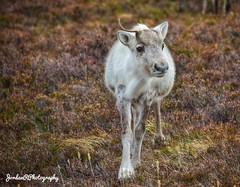Reindeer in the Cairngorms (jordan.retsinas) Tags: wildanimals mountain cairngorms nature wildlife scotland travel wildlifephotography naturephotography photography reindeer