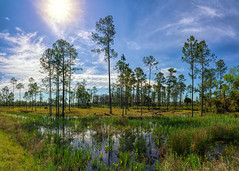 Tosahatchee wetlands (Ed Rosack) Tags: grass pine usa cloud evergreen tree nature forest reflection landscape sky centralflorida panorama ©edrosack tosohatcheewma florida cloudy christmas us
