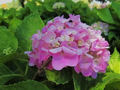 Wednesday Hydrangea (npbiffar) Tags: garden outdoor plant flower hydrangea pink npbiffar s90 canon macro ngc natureinfocusgroup