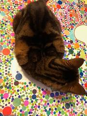 lili-couchée-sur-ma-toile© (alexandrarougeron) Tags: photo alexandra rougeron chat chatte bébé poilue animal sauvage felin chou beauté flickr lili loulou poupouce