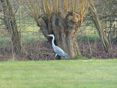 Heron Heading for the Brook (Marit Buelens) Tags: bird animal vogel reiger heron grey tree boom willow wilg pollard knotwilg beek brook belgium belgië vlaanderen brugge bruges natuurgebied naturereserve gemeneweidebeek
