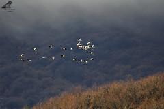 Grus grus 2 (nonnogrizzly) Tags: gru grusgrus uccelli aves birds migrazione fauna natura liguria aria