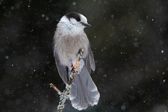 Gray Jay (NicoleW0000) Tags: grayjay bird birdphotography wildlife nature snow snowing tree forest outdoor canon