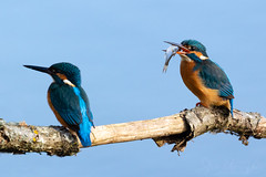 Kingfisher pair (Steve Moore-Vale) Tags: kingfisher alcedo atthis alcedoatthis suffolk uk birds avian ornithology birdwatching england fish food prey relationship courting