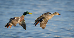 Mallards (Kevin James54) Tags: anasplatyrhynchos carolinabeach carolinabeachlake mallard nikond850 tamron150600mm wilmington animals avian bird kevingianniniphotocom