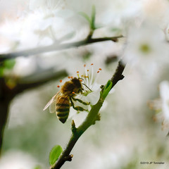 Abeille (jpto_55) Tags: insecte abeille fleur proxi bokeh fuji fujifilm fujixf55200mmf3548rlmois hautegaronne france