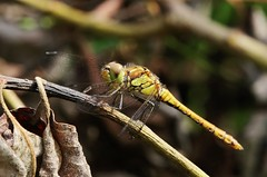 Dragonfly (Hugo von Schreck) Tags: hugovonschreck dragonfly libelle macro makro insect insekt fantasticnature yourbestoftoday canoneos5dsr tamron28300mmf3563divcpzda010