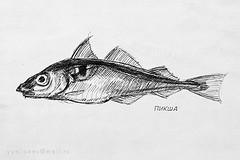 Haddock / пикша (yuriye) Tags: haddock пикша yuryelysee yuriye рыба пикшуй рыбалка море баренцево морская fish art sea barenz ink inkpen fishing murmansk sketch рисунок графика набросок скетч гелевая ручка