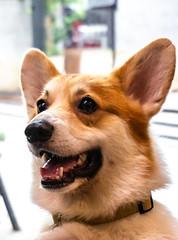 Corgi in the Garden Cafe at Bangkok, Thailand (davejunia) Tags: bangkok cafe corgi dog puppy thailand wattana tha