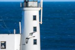 Seagull (Derwisz) Tags: seagull unitedkingdom england scarborough scarboroughharbour seaside telephotolens birds bird wildlife flight canoneos40d