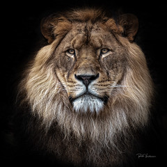 Face to face (rudi.verschoren) Tags: zoo animal lion male antwerp belgium face front nature captivity artistic art exposure indoor park flanders light mood contrast black