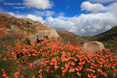Poppy Rock Garden (Bridget Calip - Alluring Images) Tags: 2019 alluringimagescolorado bridgetcalip california californiapoppies lakestreet riversidecounty scenicbyway superbloom usa walkercanyon allrightsreserved beautiful bloom blueskies botanical clouds copyrighted dramaticclouds field flora flower hiking hill landscape meadow orange outdoor plant poppyapocalypse poppygeddon recreation rollinghills sky southerncalifornia spring sunny touristattraction travel vibrant wild wildflowers