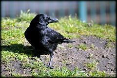 Carrion Crow (* RICHARD M (Over 8.5 MILLION VIEWS)) Tags: carrioncrow corvuscorone crow corvidae corvus wildbirds birds wildlife nature ornithology