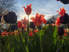 87/365 (moke076) Tags: 2019 365 project 365project project365 oneaday photoaday mobile cell cellphone iphone tulip flower atlanta botanical garden gardens atlantabotanicalgarden looking up blossom bloom blooming spring tulips flowers colors bright sky nature