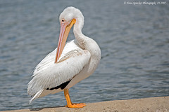 American White Pelican 19-3907 (Hans Spiecker Photography) Tags: americanwhitepelican california lakebalboa