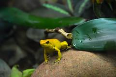 Golden Poison Frog (Phyllobates terribilis) (Seventh Heaven Photography) Tags: golden poison frog phyllobatesterribilis phyllobates terribilis yellow amphibian amphibia dendrobatidae animal nikond3200 chester zoo cheshire england dart arrow endangered