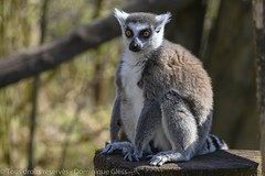 Parc animalier de Sainte Croix - Saison 2019 (4) (dom67150) Tags: lorraine makicatta parcanimalierdesaintecroix rhodes ringtailedlemur