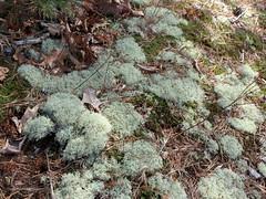 Gray Reindeer Lichen (treegrow) Tags: glendening maryland nature lifeonearth fungi lichen cladoniarangiferina cladoniaceae