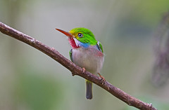 Cuban tody (Todus multicolor) - Holguín Province, Cuba - Feb 2019 (Dis da fi we) Tags: cuban tody todus multicolor holguín province cuba bird blue yellow green white red