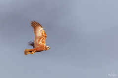 Marsh Harrier (LeFoto - photography by Peter Le Cointe) Tags: lepepoint wildlife nature hampshirephotographer birds marshharrier peterlecointe newforestnationalpark lefoto newforestphotographer