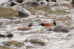 Harlequin Ducks, Histrionicus histrionicus (jlcummins) Tags: bird harlequinduck yakimacounty tietonriver washingtonstate duck waterfowl river histrionicushistrionicus