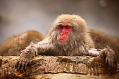 Monkey in onsen over 1hr (Vera Rong Wang) Tags: japan monkey monkeyonsen nagano jigokudani 長野 地獄谷野猿公苑