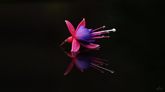 Reflection... (Piet photography) Tags: macro reflection fuchia flower bloem aoi elitegalleryaoi bestcapturesaoi