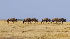 Maasai Mara, Kenya (Ninara31) Tags: maasaimara mara masai kenya wildlife safari cheetah lion buffalo bird leopard elephant