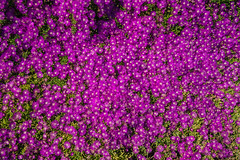 Floral Purple Carpet (Hanna Tor) Tags: california hardyiceplant spring summer background beautiful bloom blooming blossom color colorful cosmos countryside day desert dunes field flora floral flower flowers forest garden grass green grow herb hill light magenta meadow native nature outdoor petal pinkflowers plain plant pretty purple rural scene season succulent sun sunlight sunny sunshine usa