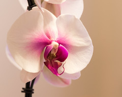 orchid (f8shutterbug) Tags: idb orchid flower plant closeup nature