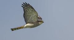 No apology required! (Ann and Chris) Tags: amazing bird birdofprey flying hunting hunt hawk impressive raptor rutlandwater rutland stunning wild sparrowhawk