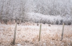 Where the wild things are (Tracey Rennie) Tags: hoarfrost muledeer deer cochrane alberta frost fence winter hff