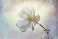 Tulipán de invierno (saparmo) Tags: tulip flowe blooming textures petals pétalos flor tulipan texturas