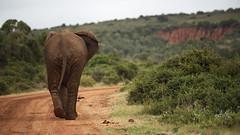 Traffic Problems (Stefan Zwi.) Tags: elephant südafrika southafrica addo ngc npc