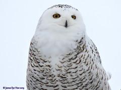Snowy Owl (JamesEyeViewPhotography) Tags: snowyowl sky birds winter january michigan northernmichigan clouds owl nature animals jameseyeviewphotography