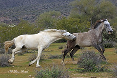Not moving fast enough (littlebiddle) Tags: arizona saltriver wildhorses nature wildlife horse mammal equine