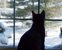 Silhouette (joeldinda) Tags: kitty bernie 4431 window chat cat livingroom gato january potter omd em1 em1ii olympus omdem1mkii home interior 2019 mulliken 31365