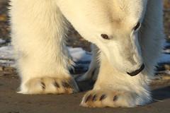 Dialing in... (gainesp2003) Tags: polar bear wild wildlife alaska kaktovik ursus maritimus