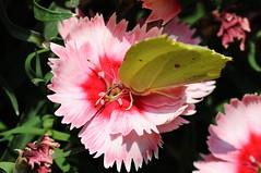 citroenvlinder (peter.velthoen) Tags: citroenvlinder dagvlinder macro gonepteryxrhamni tuin zomer nederland macrofotografie nikon petervelthoen
