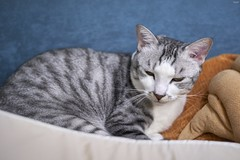 A9__DSC3124_C1 (Bazoka+Cynthia) Tags: cat 小婆 新北市 樹林區 空空 貓