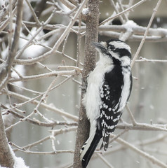Downy Woodpecker - female (mahar15) Tags: wildlife winter nature birds outdoors woodpecker downywoodpecker femaledownywoodpecker femalewoodpecker