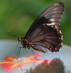 Butterfly having lunch (madbesl) Tags: schmetterling butterfly makro macro insekt insect auge eye nikon d5100 nikond5100 nikkor85mmmicro boga botanischergartenmünchen explore